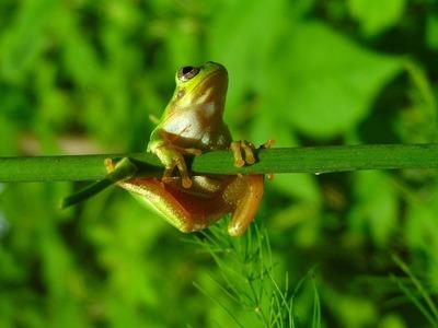 6月の雨蛙.jpg
