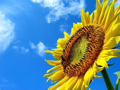 sunflower_01.jpg